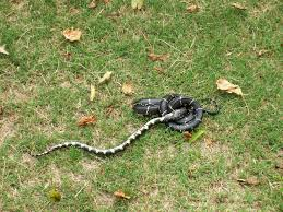 Snake – Control | Walter Reeves: The Georgia Gardener Diamondback Water Snake Indiana 1 Yard Long Youtube Snake Trap Cahaba Ewww Snakes 6 Tips To Keep Them Away From Your Home How A 14 Steps With Pictures Wikihow In The Duck House 9 Tips Help Repel Snakes Fresh Eggs Best Way Ive Found Yet Deal Problems Backyard Removal Wildlife Services Of South Florida Catch Deadly Safely Out Louisiana Department And Fisheries