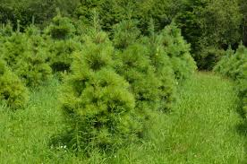 Canaan Fir Good Christmas Tree by Our Trees Woodlake Tree Farm The Best Selection Of Conifers In