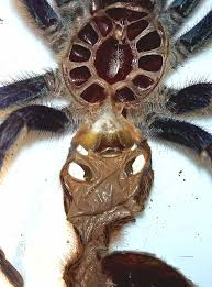 Tarantula Shedding Skin Time Lapse by 100 Do Tarantulas Shed Their Skin 18 Best Spider Tattoos