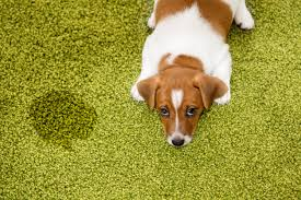 Dog Urine Stains On Hardwood Floors Removal by Pet Stain Removal Who Let The Dogs In Zerorez Socal Blog