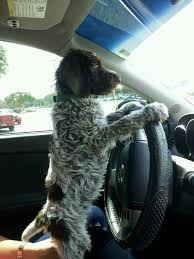 Griffon German Wirehaired Pointer Shedding by Best 25 Wirehaired Pointing Griffon Ideas On Pinterest German