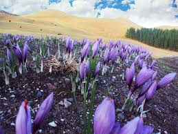 buy saffron corms kiwi saffron organic saffron growers nz