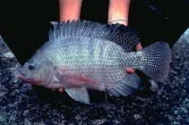 Image Of Oreochromis Niloticus Nile Tilapia