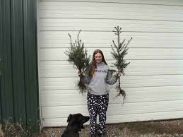 Christmas Tree Saplings For Sale by Douglas Fir