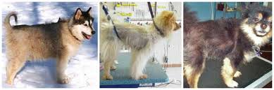 Do All Dogs Shed Their Fur by Debunking The U201cdon U0027t Shave Your Dog U201d Myth Thatzsatz