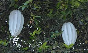 Fertilizer Requirements For Pumpkins by Production Practices For Fluted Pumpkin In Nigeria Naij Com