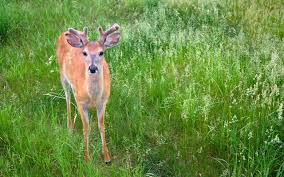 why do deer shed their antlers grand view outdoors