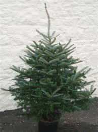 Fraser Fir Christmas Trees Delivered by Potted Christmas Trees Uk Rainforest Islands Ferry