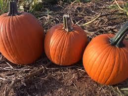 Columbus Ohio Pumpkin Patches by Top Spots 10 Best Pumpkin Patches In Central Ohio Nbc4i Com