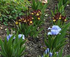 growing iris iris care what to do this month in the iris garden
