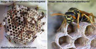 to get rid of wasps naturally