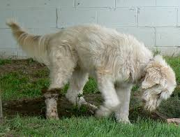 Large Dogs That Dont Shed Fur by Different Breeds Of Shaggy Dog Breeds Dog Breeds Puppies