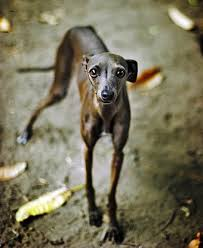 Do Italian Greyhounds Shed A Lot by Top 10 Dogs For Apartment Living Ten Dog Breeds That Do Well In