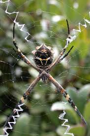 C2C_Wiki_Silver+Garden+Spider_H-r-w800-q100-m1465244105.jpg R2rustys Chatter September 2017 Ladybugs Backyard And Beyond Birdingand Nature Golden Silk Orb Weaver Spider In Bug Eric Sunday Black Yellow Argiope Glass Beetle By Falk Bauer A Backyard Naturalistinsects Ghost Spiders Family Anyphnidae Spidersrule C2c_wiki_silvgarnspider_hrw8q0m1465244105jpg Aurantia Wikipedia Two Views Sonoran Images Elephant Tiger Skin Spiny Blackandyellow Garden Mdc Discover Power Animal For October Shaman Amy Katz