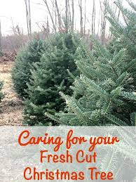 Balsam Christmas Tree Care by 16 Best Christmas Tree Promotion Board Images On Pinterest