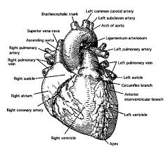 Anatomi The Of Human Heart Coloring Pages