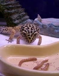 Do Leopard Geckos Shed by Leo Care Gallery Geckos Rhacodacylus Crested And Gargoyle Geckos