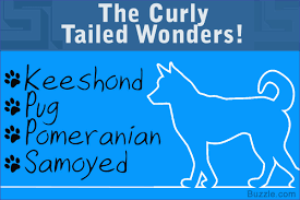 Do Samoyed Dogs Shed Hair by 13 Adorably Cute Dog Breeds That Have Curly Tails