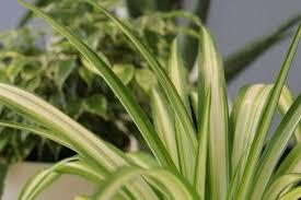 top 10 büropflanzen gegen trockene luft für ein besseres