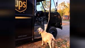 This Rescued Goat Is In Love With The UPS Driver - YouTube Ups Freight Drivers May Go On Teamsterauthorized Strike Fortune Sustainability Mandates Maximum 70 Hours In 8 Days For Package Drivers Are Doctors Rich Physicians Vs Youtube The Astronomical Math Behind New Tool To Deliver Packages Is Testing Delivery Tricycles Trafficchoked Seattle Wired Look At This Facebook Page Where Share Pics Of Dogs They Government Sues Saying Ban Beards And Long Hair Violates The Extreme Super Truck Kings Of Customised Pick Ups Thatgeekdad Now You Can Stalk Your Real Time While How Stalk Your Driver Between Carpools 1