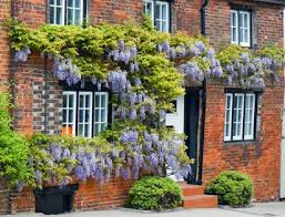 planting wisteria in a pot wisteria plant database
