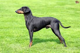 Do Miniature Pinschers Shed A Lot by Manchester Terrier Dog Breed Information Buying Advice Photos