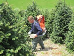 Frasier Christmas Tree Cutting by 7 Best Christmas Tree Varieties Images On Pinterest Christmas