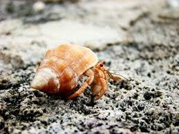 Do Hermit Crabs Shed Their Whole Body by Hermit Crab Food Pisces Pros