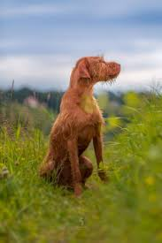 Vizsla Dog Breed Shedding 3610 best vizslas 2nd board images on pinterest puppies dogs