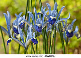 iris reticulata clairette early flower bulbs february pale