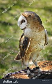 Common Barn Owl Tyto Alba Tethered Stock Photo 31882882 - Shutterstock Common Barn Owl 4 Mounths In Front Of A White Background Stock Royalty Free Images Image 23603549 Known Photo 552016159 Shutterstock Owl Wikipedia 644550523 Mdc Discover Nature Tyto Alba Perched On A Falconers Arm At Daun Audubon Field Guide Mounths Lifeonwhite 10867839 Barnowl 1861 Best Owls Snowy Saw Whets Images Pinterest Photos Dreamstime