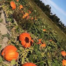 Snohomish Pumpkin Patch by The Farm 132 Photos U0026 86 Reviews Pumpkin Patches 7301