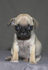 Do Pugs And Puggles Shed by 83 Best Puggles Images On Pinterest Dexter Jasper And Blossoms