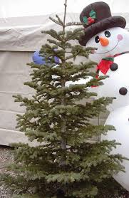 Best Smelling Christmas Tree Types by Best 25 Types Of Fir Trees Ideas On Pinterest Types Of Pine