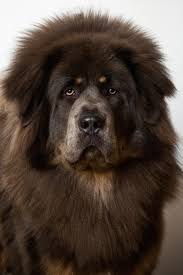 Large Dog Breeds That Dont Shed by 15 Best Lazy Dog Breeds Laziest Low Energy Dogs