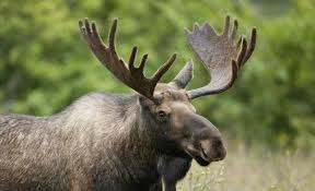 Moose Shedding Their Antlers by What Is The Difference Between A Stag A Moose And An Elk