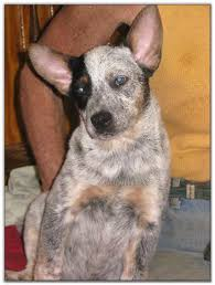 Blue Heeler Mix Shedding by 28 Blue Heeler Shed A Lot View Ad Australian Cattle Dog