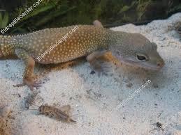Do Leopard Geckos Shed by Leucistic Leopard Gecko Leopard Reptile Supplies