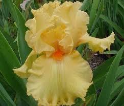 iris fringe benefits irises iris bearded iris