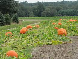Connecticut Field Pumpkin by Pumpkins Jones U0027 Farmer Blog