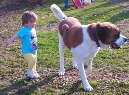 Do Short Haired Saint Bernards Shed by 6 Answers What Is It Like To Have A Saint Bernard Dog