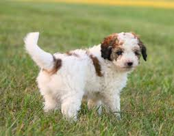 Do Miniature Aussiedoodle Shed by Female Red Aussie Doodle Aussie Doodles Aussiedoodles