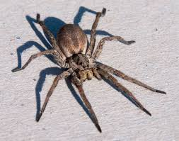Do Tarantulas Shed Their Fangs by Natureplus Spider Identification