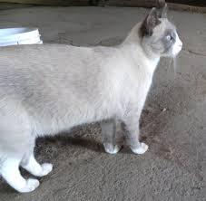 snowshoe cat is this a snowshoe cat cat forum cat discussion forums