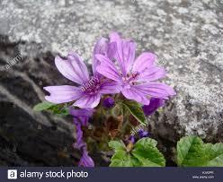Close Up Of Two Pretty Blue Mallow Wild Flowers Growing Out A Stone Wall In