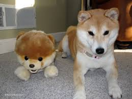 All Dog Breeds That Dont Shed by Tokyo My Shiba Inu Life February 2013