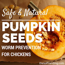 Are Unsalted Pumpkin Seeds Fattening by Seeds Safe And Natural Worm Prevention For Chickens