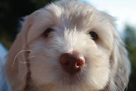 Non Shedding Dog Breeds With Pictures by Choose The Best Hypoallergenic Dog For Your Family