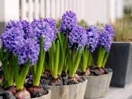 hyacinthus orientalis delft blue hyacinth