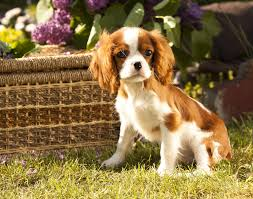 Do Brittany Spaniels Shed Hair by Cavalier King Charles Spaniel